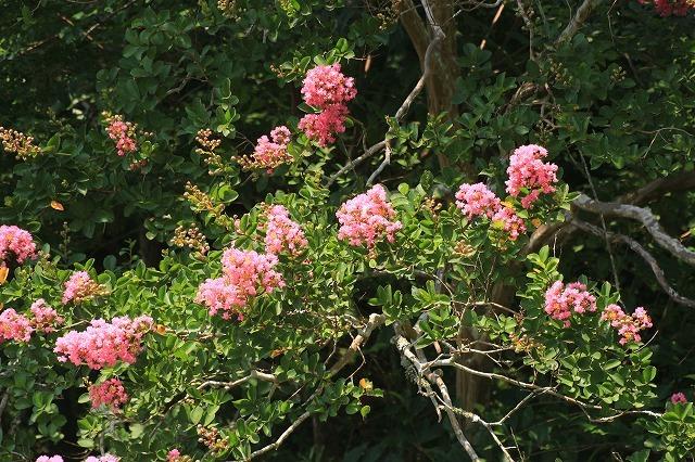 咲き誇る百日紅(八重垣神社)(撮影:8月5日)_e0321325_14165945.jpg