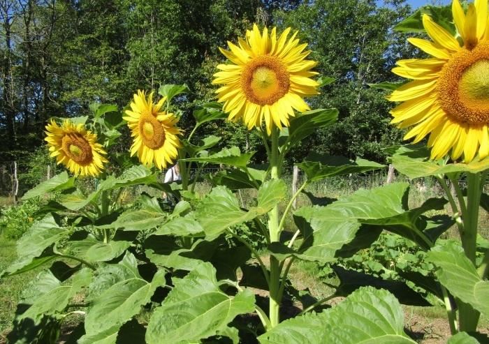 夏の花 向日葵の花_b0287748_20052384.jpg