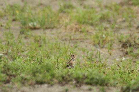 ★シギ類が増えてきました 葛西臨海・海浜公園全域調査結果_e0046474_11522939.jpg