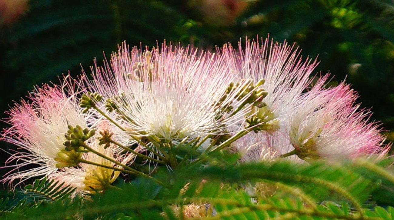 ネムノ木の花_d0162994_08380596.jpg
