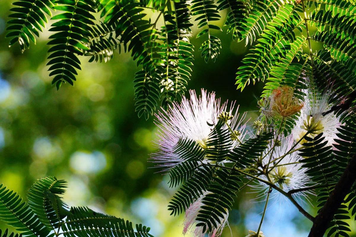 ネムノ木の花_d0162994_08381727.jpg