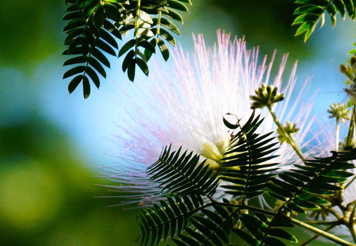 ネムノ木の花_d0162994_08382695.jpg