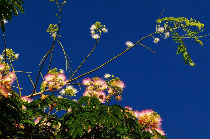 ネムノ木の花_d0162994_08384165.jpg