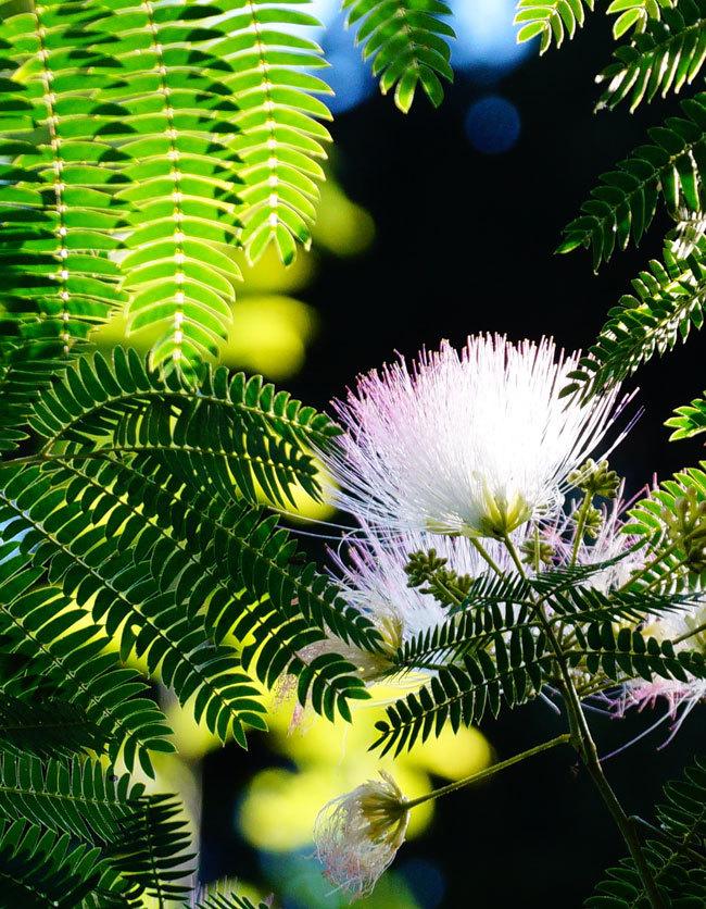 ネムノ木の花_d0162994_08385319.jpg