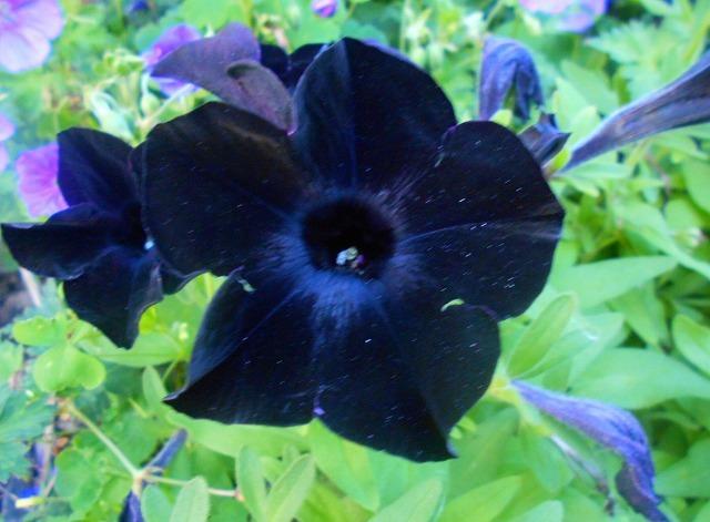 黒い花びら_d0000995_04331204.jpg