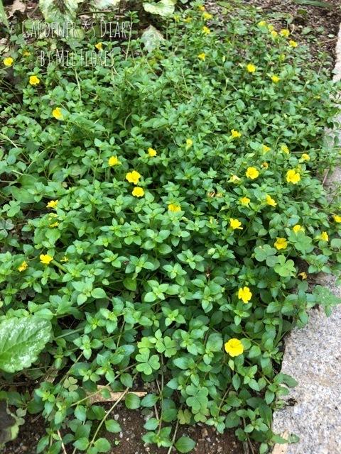Ground cover plants 〜 試行錯誤_e0365614_22004574.jpg