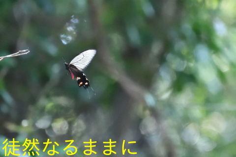 佐久島・師崎のヤクシマルリシジミ_d0285540_20395537.jpg