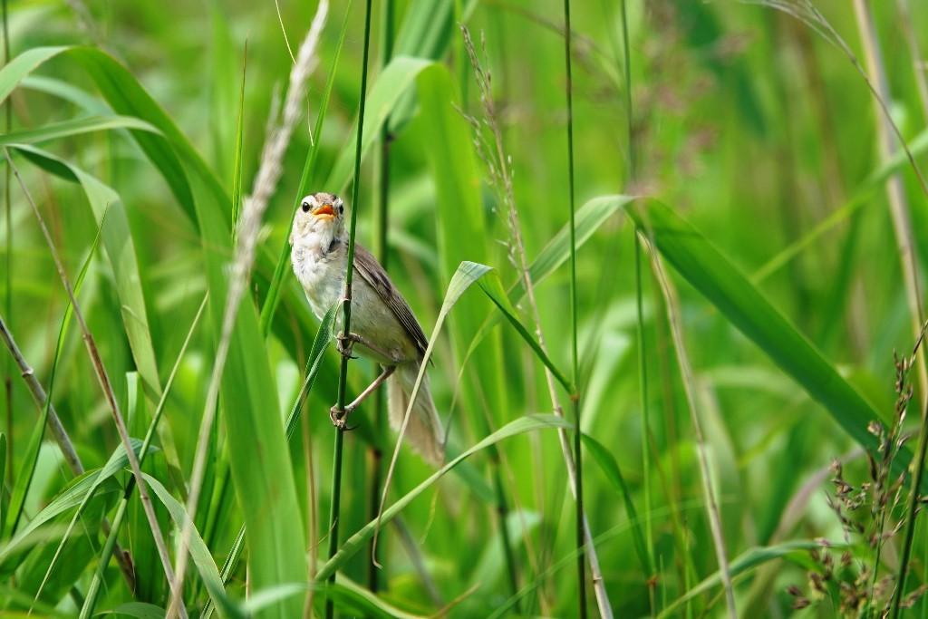 野鳥トレ 217 北海道探鳥地放浪の旅 その1_b0227552_12271360.jpg