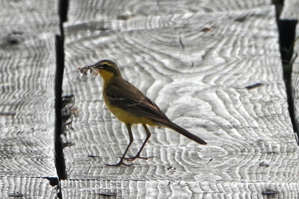 野鳥トレ 217 北海道探鳥地放浪の旅 その1_b0227552_12571220.jpg