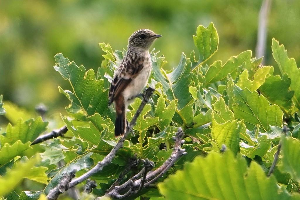 野鳥トレ 217 北海道探鳥地放浪の旅 その1_b0227552_12571261.jpg