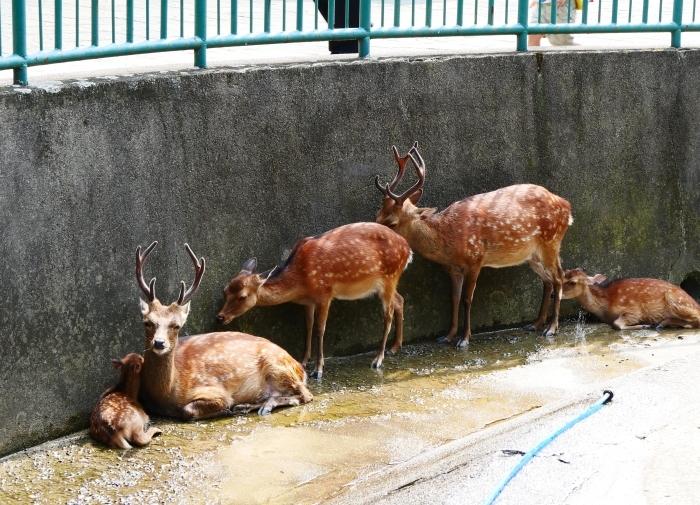 お城の動物園で、先月、小鹿が生まれる  2020-08-09 00:00_b0093754_21441718.jpg
