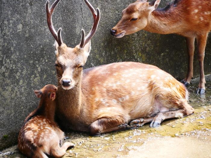 お城の動物園で、先月、小鹿が生まれる  2020-08-09 00:00_b0093754_21443958.jpg