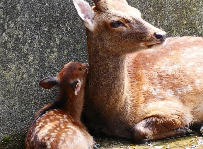 お城の動物園で、先月、小鹿が生まれる  2020-08-09 00:00_b0093754_21452722.jpg