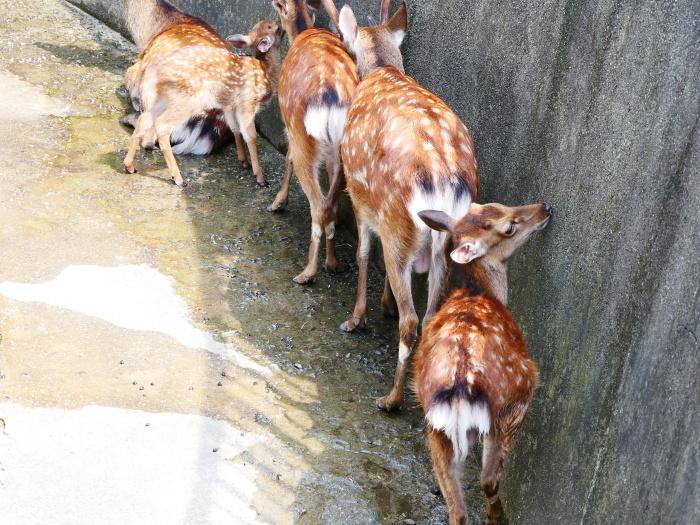 お城の動物園で、先月、小鹿が生まれる  2020-08-09 00:00_b0093754_21455140.jpg