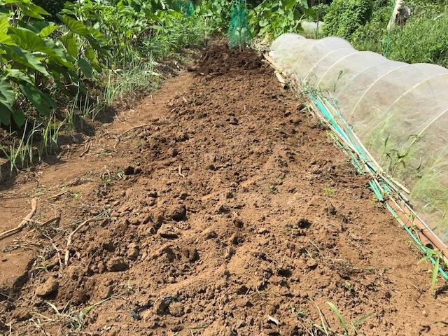 里芋水やり、ネギ土寄せ、大根土づくりなど8・3~7_c0014967_14494585.jpg