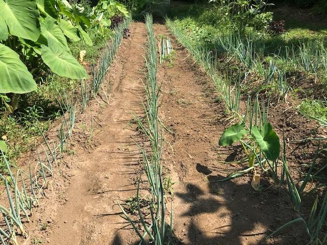 里芋水やり、ネギ土寄せ、大根土づくりなど8・3~7_c0014967_14520344.jpg