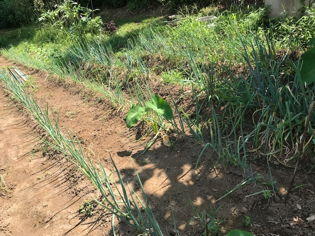 里芋水やり、ネギ土寄せ、大根土づくりなど8・3~7_c0014967_14522188.jpg
