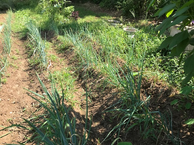 里芋水やり、ネギ土寄せ、大根土づくりなど8・3~7_c0014967_14523565.jpg