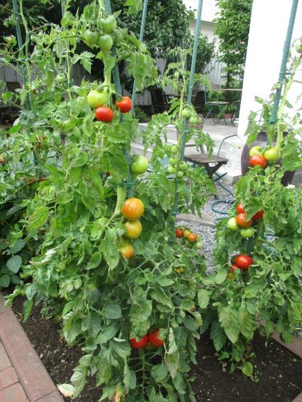 ポタジェのミニトマトでセミドライトマト&戴いた大粒のブルーベリー_a0279743_16404992.jpg