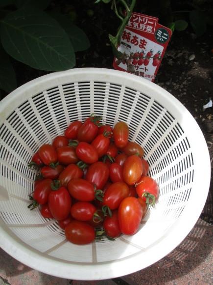 ポタジェのミニトマトでセミドライトマト&戴いた大粒のブルーベリー_a0279743_16415765.jpg