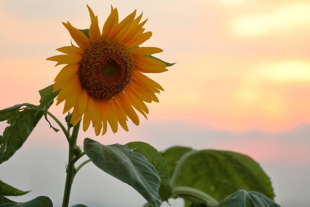 今日の夕焼けとヒマワリ_e0403850_21212533.jpg