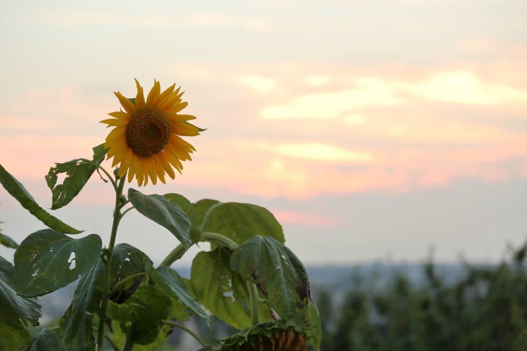 今日の夕焼けとヒマワリ_e0403850_21351809.jpg
