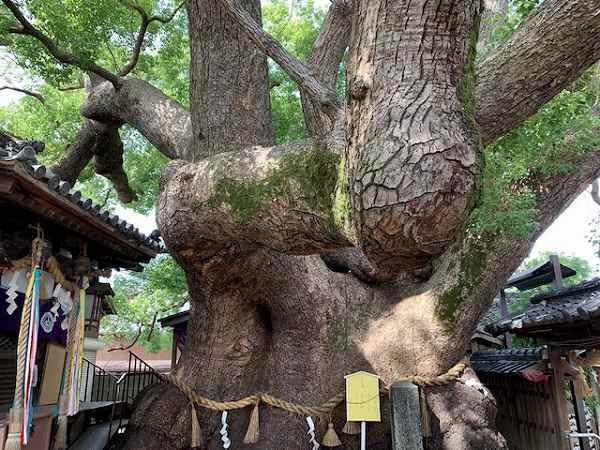 三島神社の大楠_a0126497_22535346.jpg
