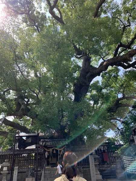 三島神社の大楠_a0126497_22594949.jpg
