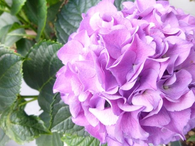 紫陽花の花_b0198109_13162177.jpg