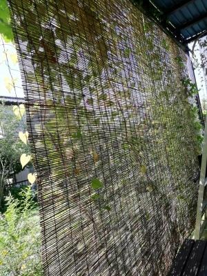 グリーンカーテン2020盛夏_c0289116_19471235.jpg