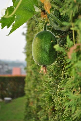 今年も冬瓜を植えてみた_f0274138_10400844.jpg