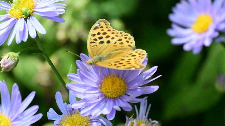 ご近所の蝶達_e0405343_16464702.jpg