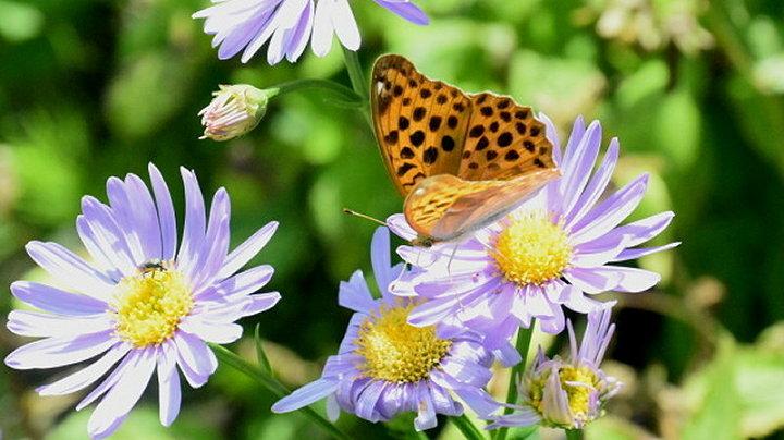ご近所の蝶達_e0405343_16465333.jpg