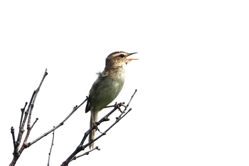 野鳥トレ 218 北海道探鳥地放浪の旅 その2_b0227552_21213201.jpg