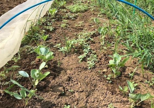 冬キャベツとブロッコリーの草取りと水やり8・10_c0014967_16293762.jpg