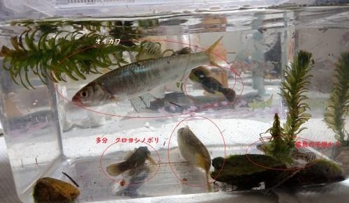 黒目川は、淡水魚の宝庫 _d0096268_19255741.jpg