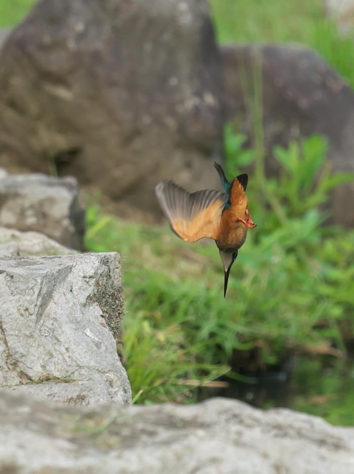 カワセミの飛び込み_b0408917_16543910.jpg