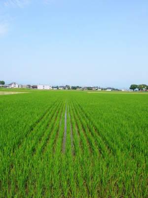 七城米 長尾農園 令和2年度のお米も元気に美しく成長中!今年も美しすぎる田んぼです!_a0254656_19590718.jpg