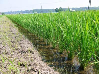 七城米 長尾農園 令和2年度のお米も元気に美しく成長中!今年も美しすぎる田んぼです!_a0254656_20023718.jpg