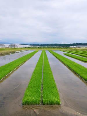 七城米 長尾農園 令和2年度のお米も元気に美しく成長中!今年も美しすぎる田んぼです!_a0254656_20084356.jpg