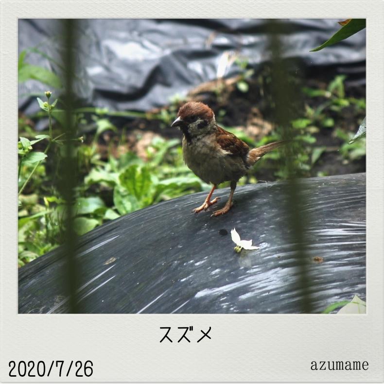 7月の野鳥_d0376975_14544110.jpg