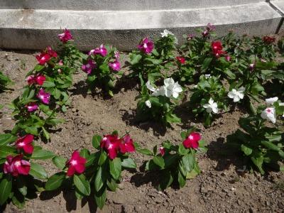 名古屋港水族館前花壇の植栽R2.8.12_d0338682_13091147.jpg