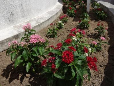 名古屋港水族館前花壇の植栽R2.8.12_d0338682_13092567.jpg