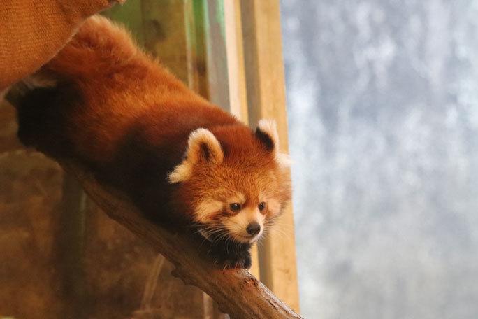 レッサーパンダの子供たち「シンファ&メイファ」(多摩動物公園  November 2019)_b0355317_21203137.jpg