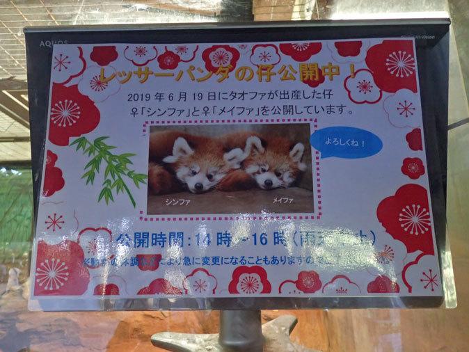 レッサーパンダの子供たち「シンファ&メイファ」(多摩動物公園  November 2019)_b0355317_21220489.jpg