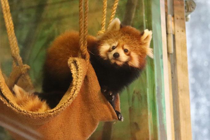 レッサーパンダの子供たち「シンファ&メイファ」(多摩動物公園  November 2019)_b0355317_21280174.jpg