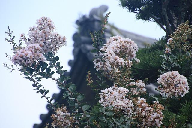 金剛寺の百日紅(白色)(撮影:8月6日)_e0321325_09592573.jpg