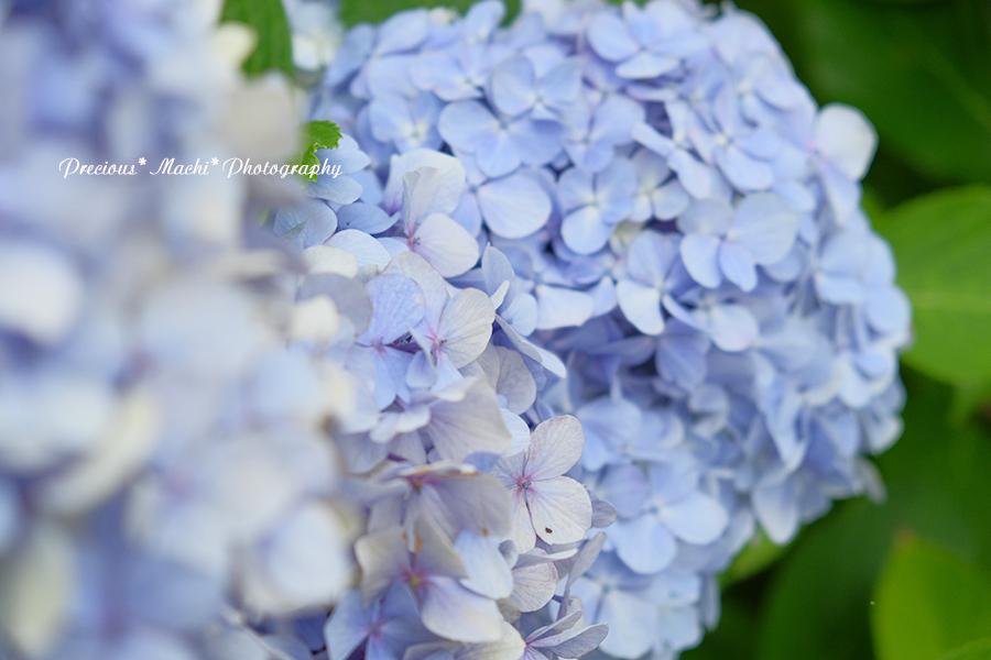 DOG PHOTO#150: 紫陽花とこはるん♡(演奏動画つき)_c0101341_14512440.jpg