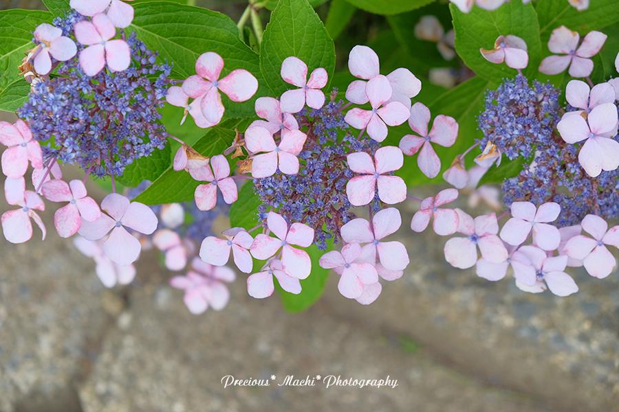 DOG PHOTO#150: 紫陽花とこはるん♡(演奏動画つき)_c0101341_14513560.jpg