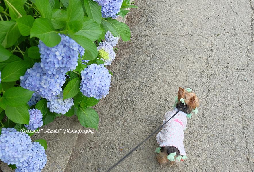 DOG PHOTO#150: 紫陽花とこはるん♡(演奏動画つき)_c0101341_14535375.jpg